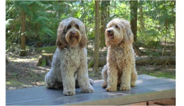 2-grown-labradoodles-sitting-white-caramel-color