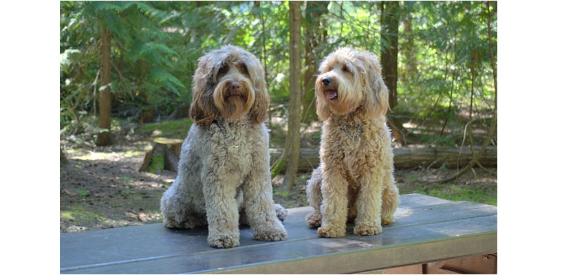 5 Easy Ways to Train Your Labradoodle