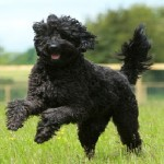 black-chocolate-labradoodle-running