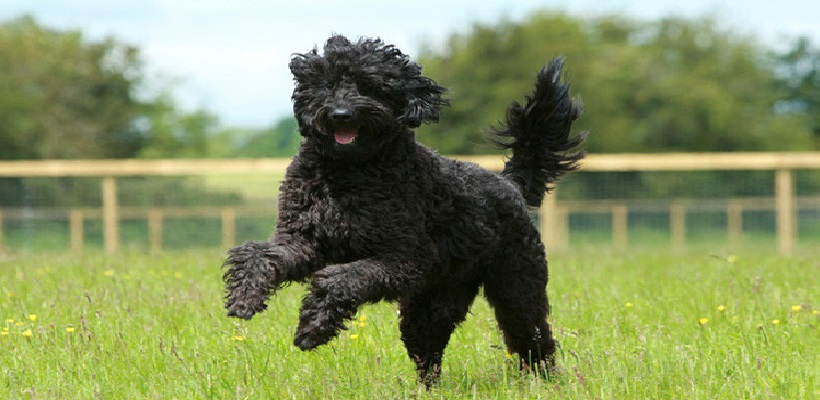 6 Fun Ways to Exercise with Your Labradoodle