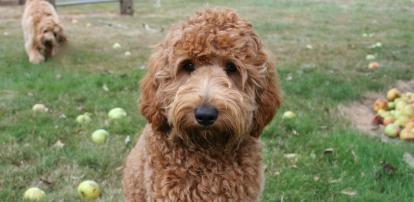 5 Grooming Tips for Your Labradoodle