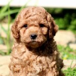 5 Questions to Ask Before Purchasing a Labradoodle