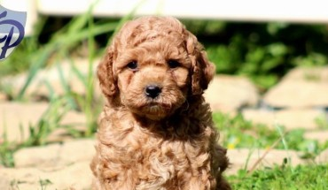 brown-caramel-labradoodle-puppy-sitting-newborn