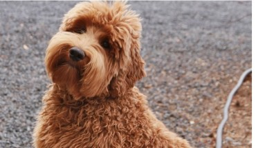 cute-caramel-brown-large-labradoodle-sitting-outdoors