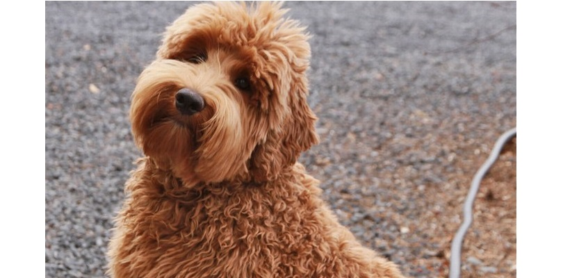 6 Reasons Why You Should Get A Labradoodle