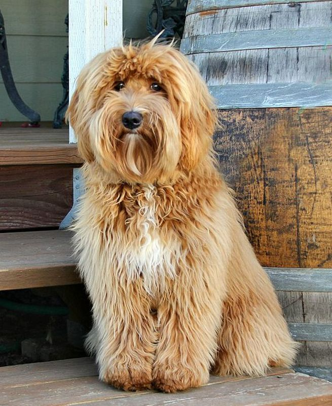 How to Pick a Vet for Your Labradoodle