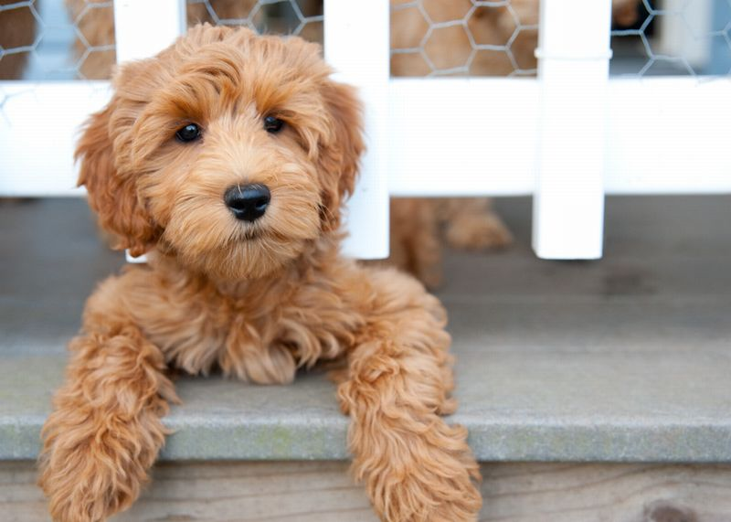 6 Reasons the Labradoodle is the Best Breed Ever