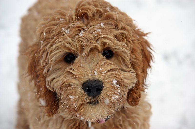 the 16 cutest labradoodle pics you u0026 39 ve ever seen