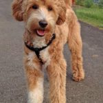 4 Tricks You Must Teach Your Labradoodle