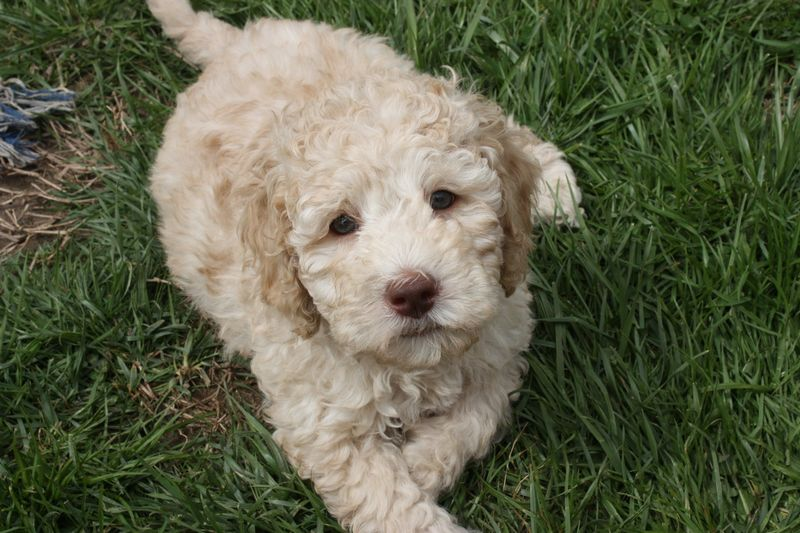 Where Can I Adopt a Labradoodle?