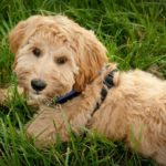 4 Reasons to Get Pet Insurance for your Labradoodle