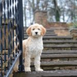 Common Health Issues and Life Expectancy of the Labradoodle