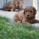 Labradoodle FAQs – Frequently Asked Questions