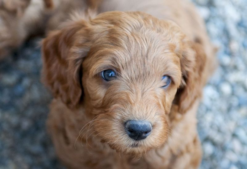 Thinking of buying a Labradoodle? | Lab Land