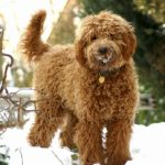 4 Benefits of the Labradoodle's Coat