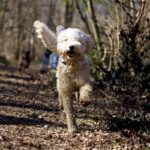 4 Places You Should Never Let Your Labradoodle Go