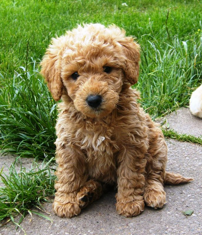 What is an Australian Labradoodle?