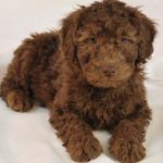 6 Tips for Traveling with Your Labradoodle