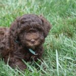 5 Health Benefits of Owning a Labradoodle