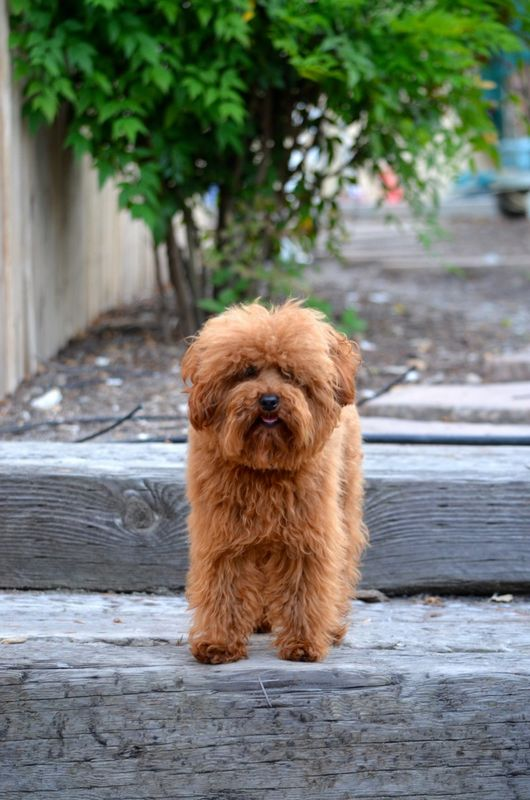 5 Behavioral Characteristics of the Labradoodle