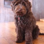 5 Things You Should Never Feed Your Labradoodle