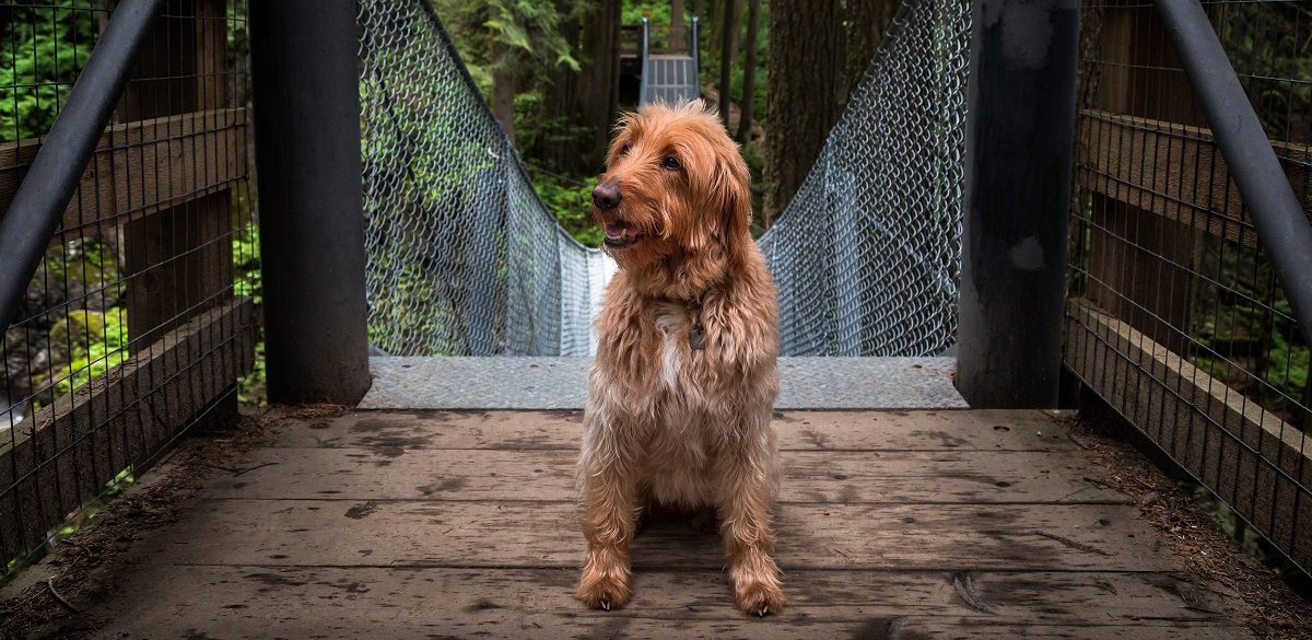 Labradoodle Cost Along With 6 Ownership Costs
