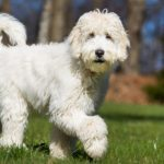 6 Things to Be Aware of Before Purchasing a Labradoodle