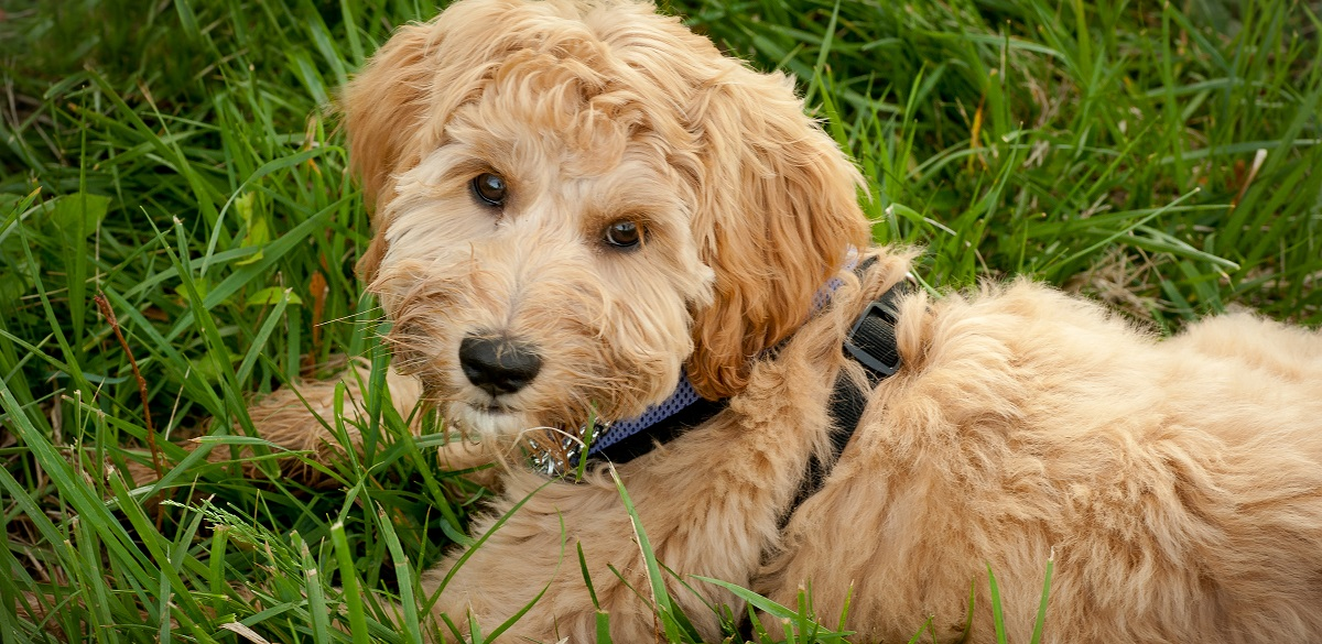 5 Things You Didn't Know About Labradoodles