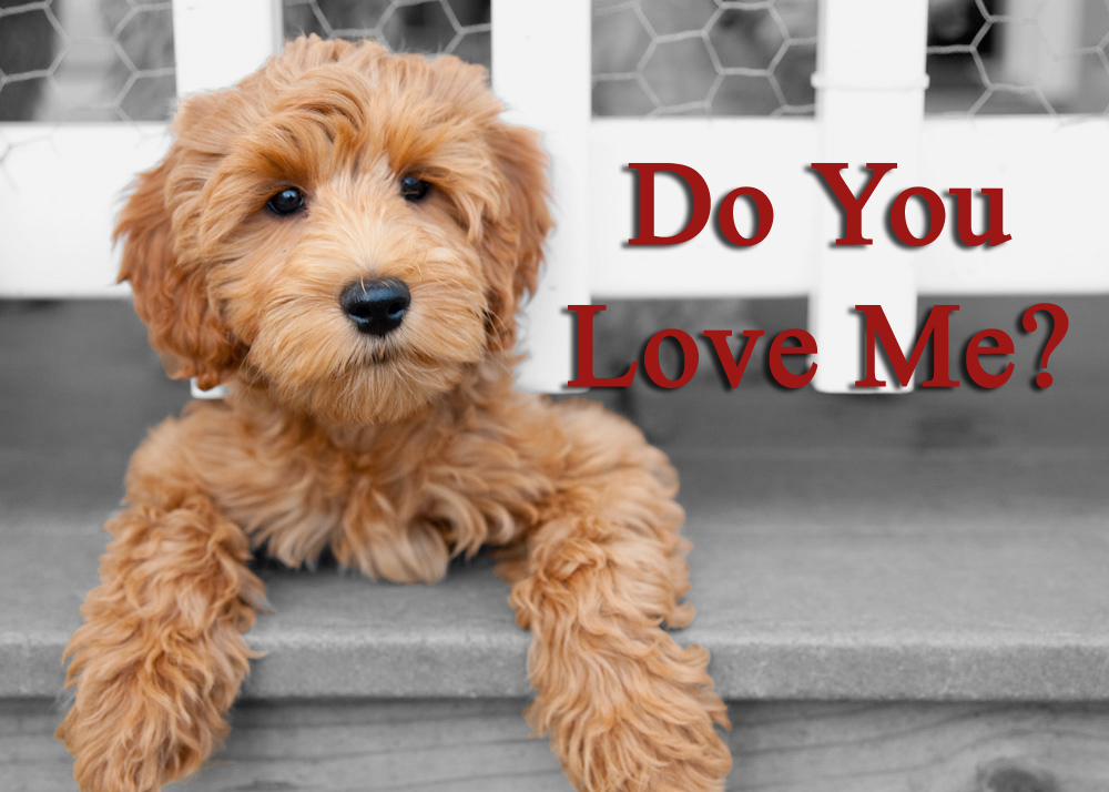 The 16 Cutest Labradoodle Pics You've Ever Seen!