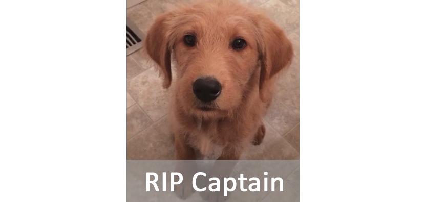 Captain The Labradoodle