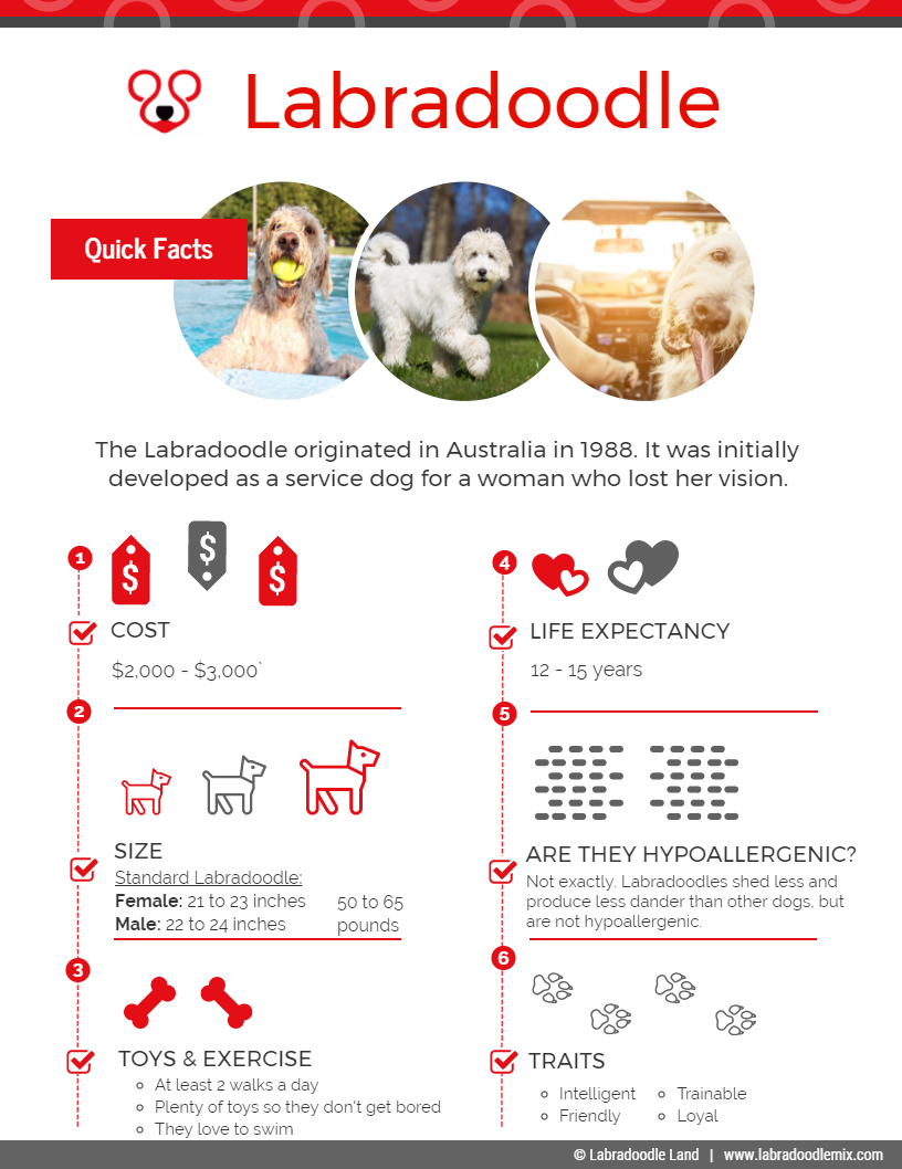 Labradoodle Breed Overview Infographic
