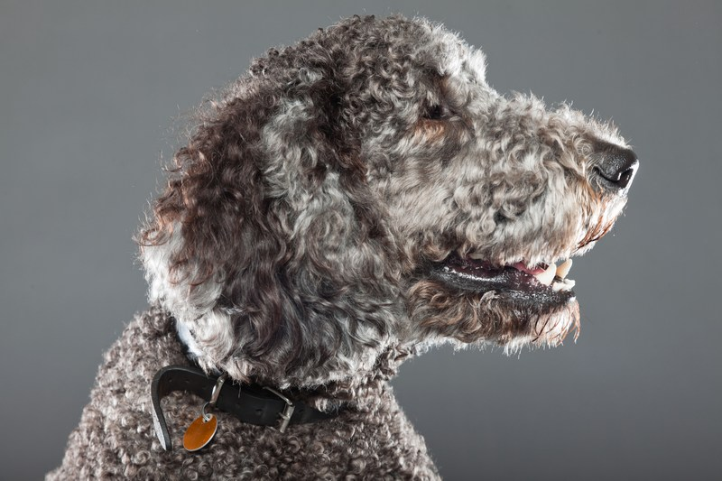 12 Amazing Labradoodles You Can't Miss!