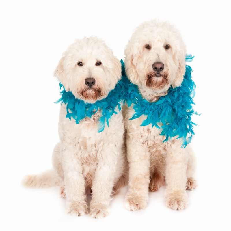 Two White Labradoodles