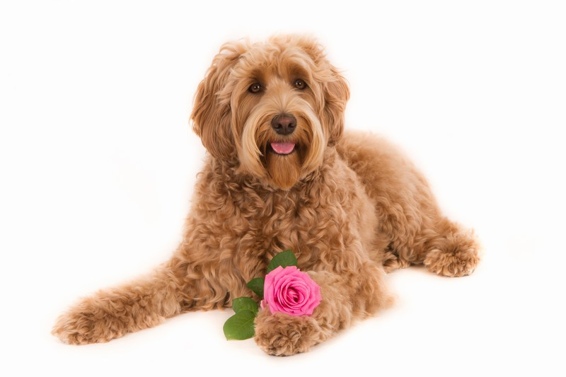 Labradoodle with Flower