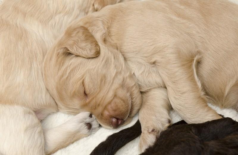 Tan Labradoodle Puppy Sleepinga