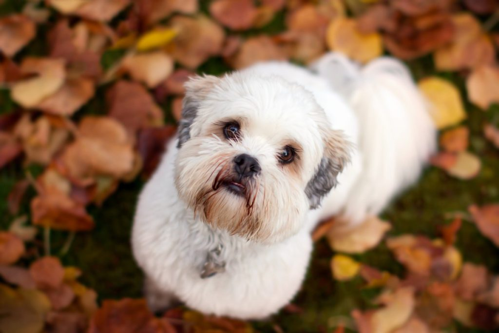 Cute White and Grey Puppy In The Fall