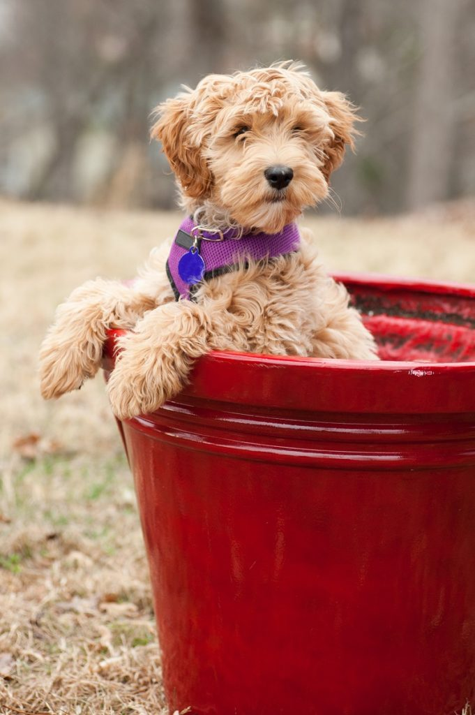 Cute Labradoodle Puppy In A Pail