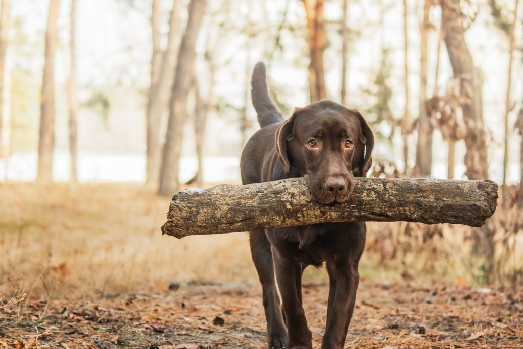 Chocolate Lab Playing With A Stick