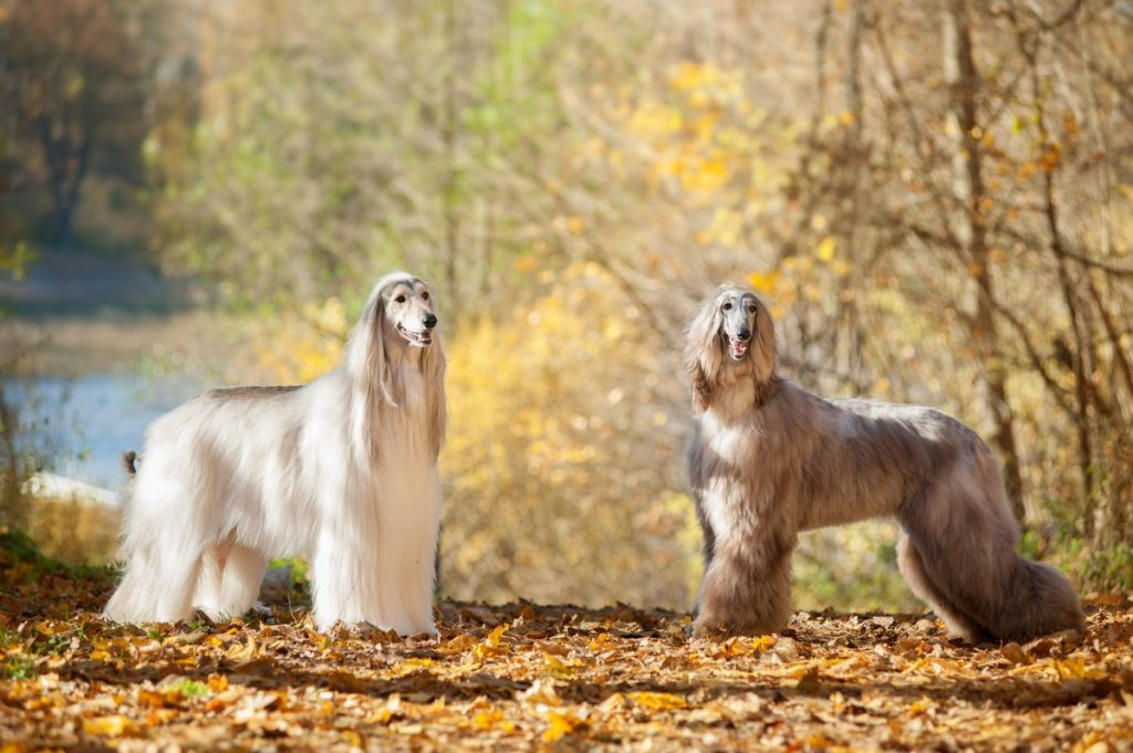 Two Afghan Hounds
