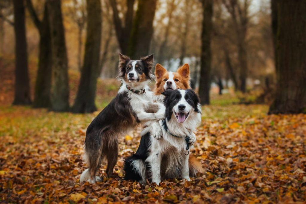 Three Border Collies Playing In The Fall