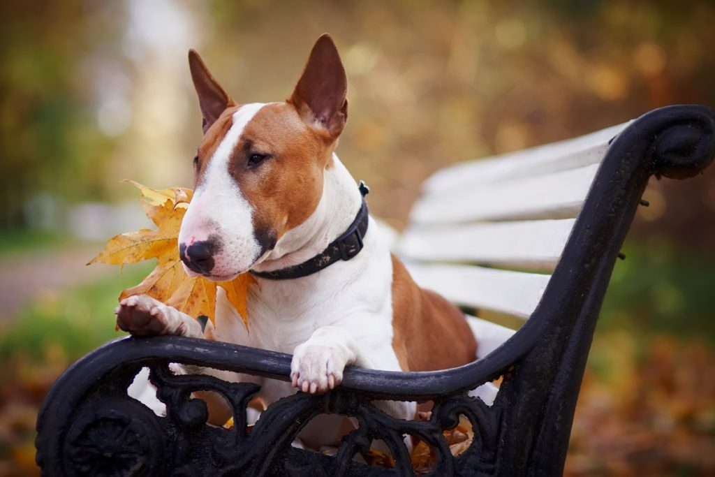 Brown and White Bull Terrier On A Bench