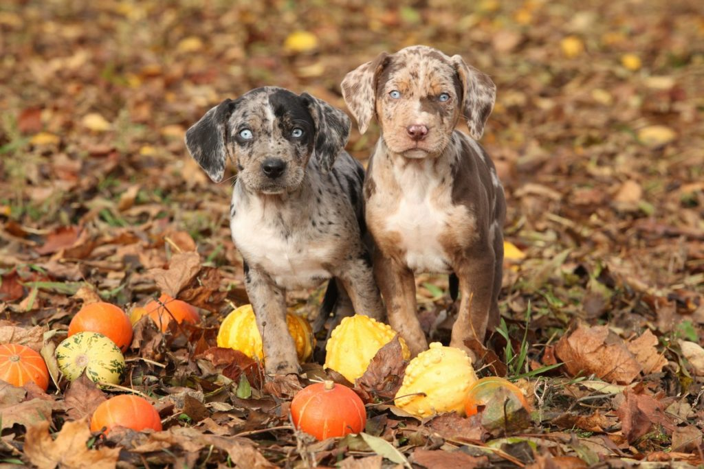 Two Catahoula Leopard Dog Puppies