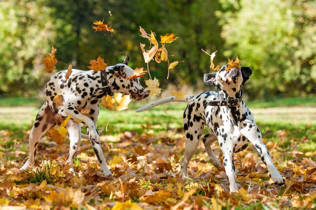 Two Dalmatians Playing In The Fall