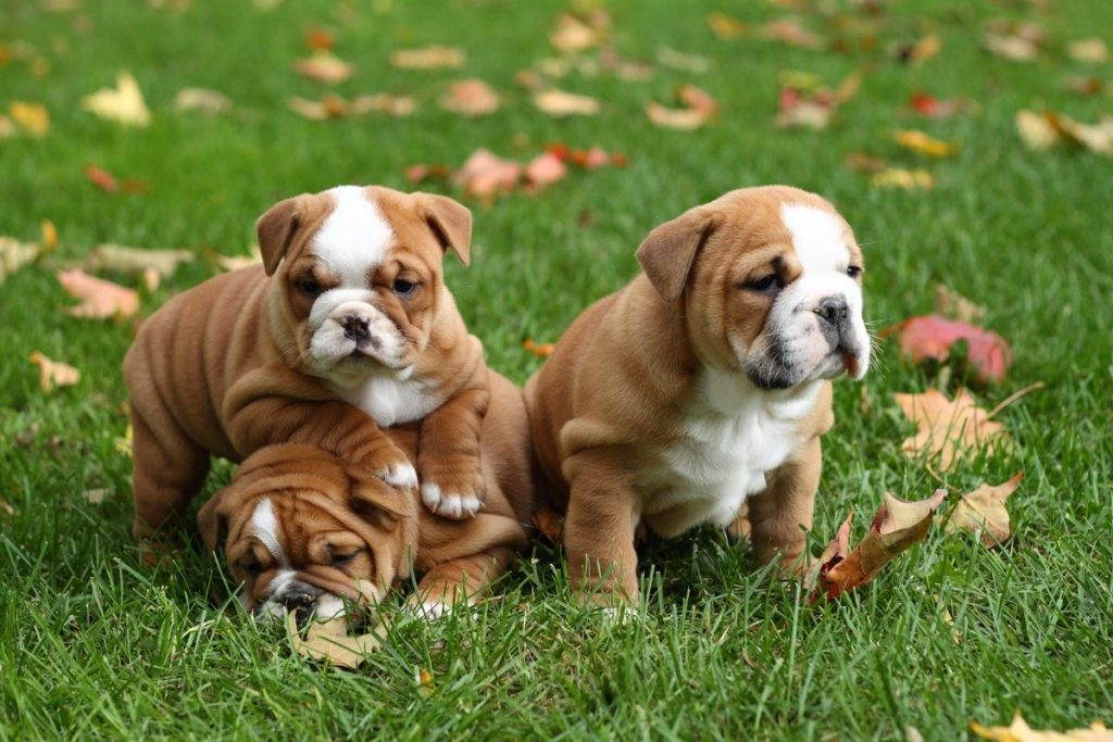 3 English Bulldogs In The Fall