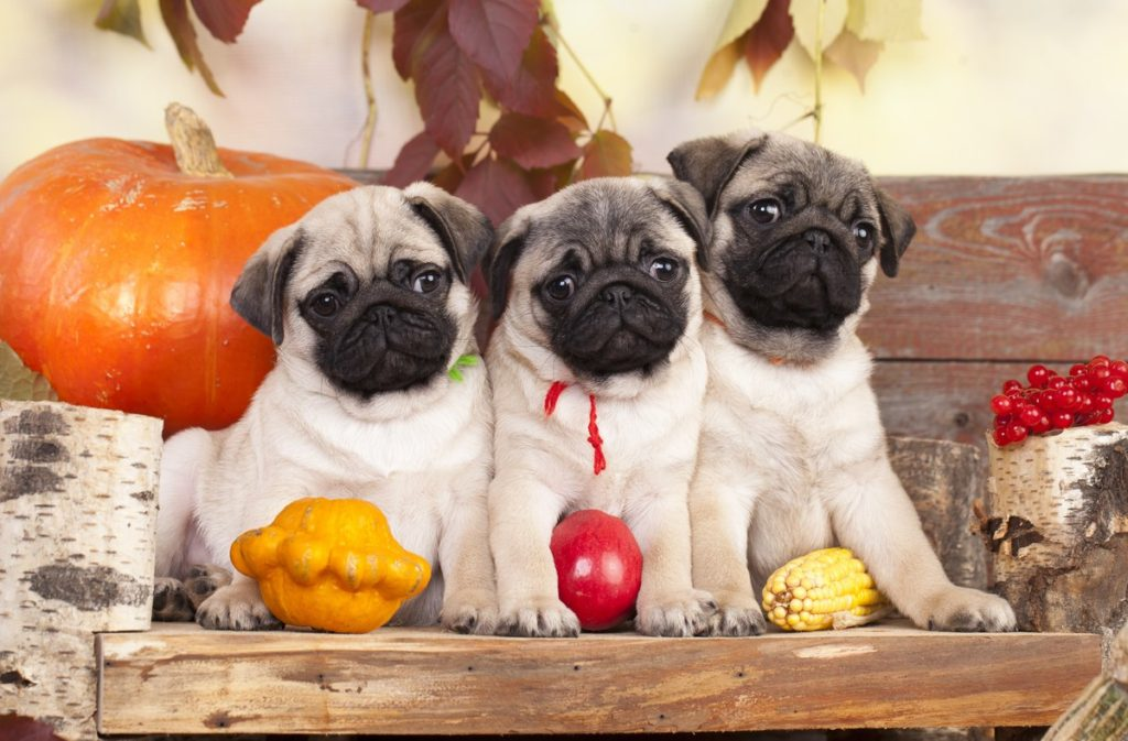 3 Pugs During Fall
