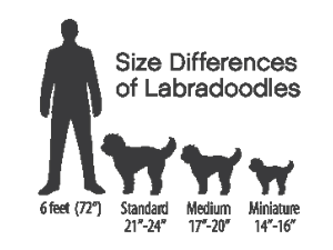 differing-sizes-of-labradoodles