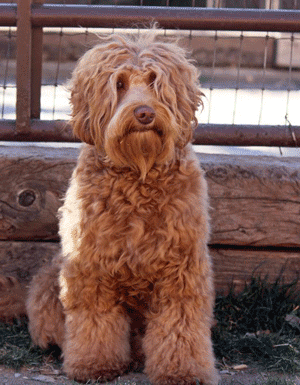medium-sized-labradoodle