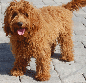 Complete Guide on Labradoodle Size and Weight