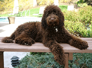 standard-size-labradoodle