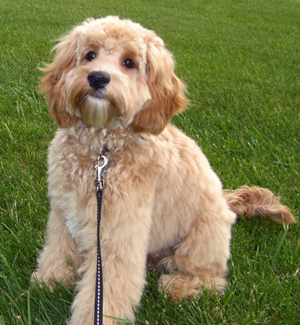 adult-miniature-labradoodle